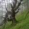 Superbe forêt de vieux mélèzes